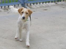 Shipper, chien Griffon à poil dur Korthals