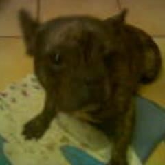 Vortex, chien Bouledogue français