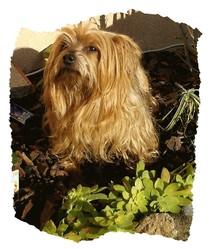 Nouchka, chien Yorkshire Terrier