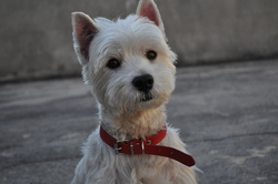 Aston, chien West Highland White Terrier