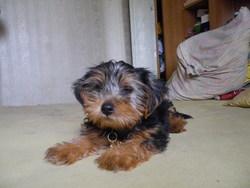 Fylaki, chien Yorkshire Terrier