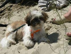 Dolly, chien Shih Tzu