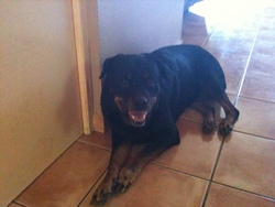 Laika, chien Rottweiler