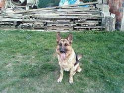 Beffi, chien Berger allemand