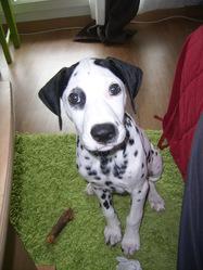 Woody, chien Dalmatien