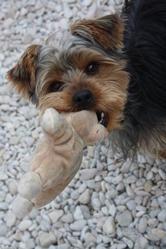 Darwin, chien Yorkshire Terrier
