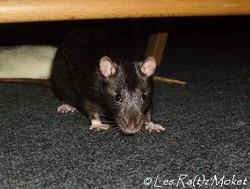 Noireau, rongeur Rat