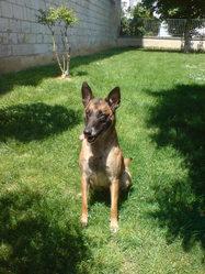 Tilka, chien