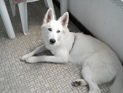 Kalis, chien Berger blanc suisse