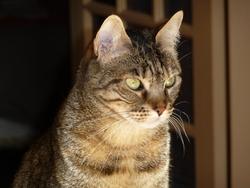 Sumiré, chat Gouttière