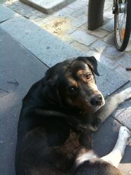 Cesar, chien