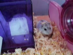 Amiral, rongeur Hamster