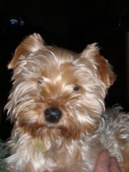 Tiamo, chien Yorkshire Terrier