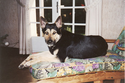 Ruby Dcd, chien Berger allemand