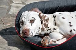 Calysse, chien Dalmatien