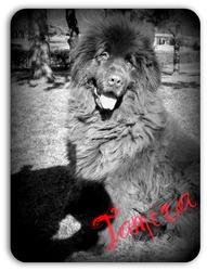 Tamira, chien Terre-Neuve