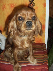 Divine-Rose, chien Cavalier King Charles Spaniel