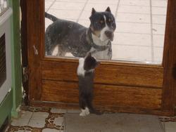 Bouba, chien American Staffordshire Terrier