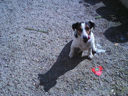 Crac , chien Jack Russell Terrier