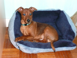 Drago, chien Pinscher