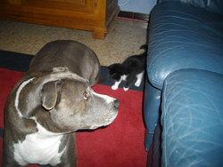 Urvik, chien American Staffordshire Terrier