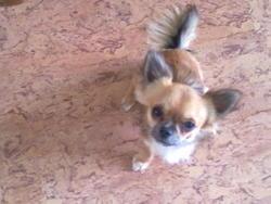 Fenek, chien Chihuahua