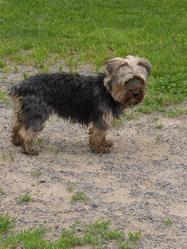 Chipie , chien Yorkshire Terrier
