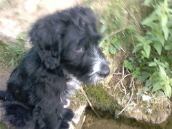 Félix, chien Terre-Neuve