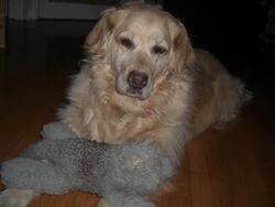 Chelsea, chien Golden Retriever