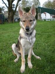 Feiva, chien Chien-loup tchèque