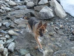 Endie, chien Berger allemand