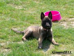 Ginger, chien Berger belge