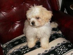 Junior, chien Shih Tzu