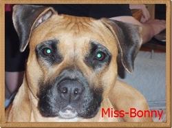 Bonny, chien American Staffordshire Terrier