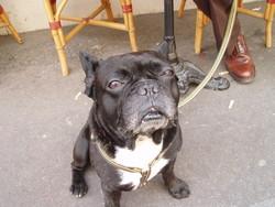 Yoda, chien Bouledogue français