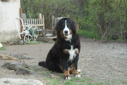 Evita, chien Bouvier bernois