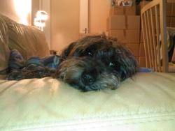 Dahlia, chien