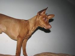 Snappy, chien Pinscher