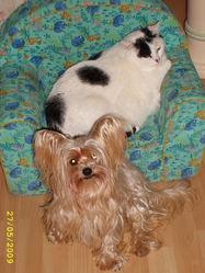 Tobby, chien Yorkshire Terrier