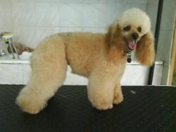 Vénus, chien Caniche