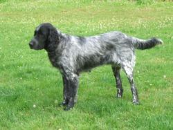 Bouba, chien Grand Münsterländer