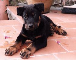 Chana, chien Beauceron