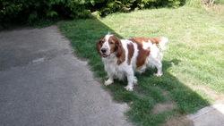 Canna, chien Welsh Springer Spaniel