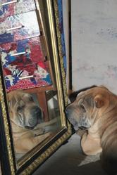 Crusty, chien Shar Pei