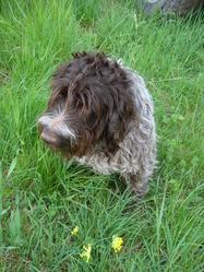 Ulysse, chien Griffon à poil dur Korthals
