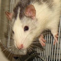 Oscar, rongeur Rat