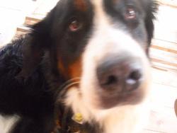 Urka, chien Bouvier bernois