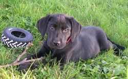 Aloa, chien Labrador Retriever