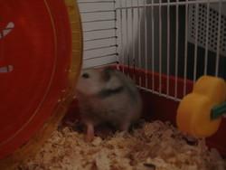 Hoppy, rongeur Hamster