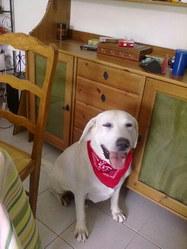 Usty, chien Labrador Retriever